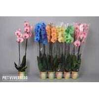 "Phalaenopsis ""Dyed"" In Vase or Ceramic Pot !!!"