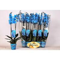 "Phalaenopsis ""Blue"" In Vase or Ceramic Pot !!!"