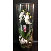 "Exclusive Phalaenopsis Orchid Plant Arrangement In ""Cylinder"" Vase"