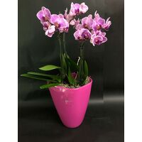"Phalaenopsis ""Kolibri"" In Vase or Ceramic Pot !!!  Fascinating !!!"