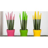 Sansevieria Cylindrica Velvet Touch With Colred Tops. In pot or basket !!! Height appr. 30cm.