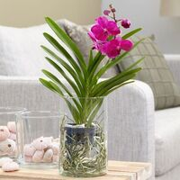 "Orchid Plant ""Vanda"" In Vase !!!  Fascinating !!! (appr.50cm Total Height)"