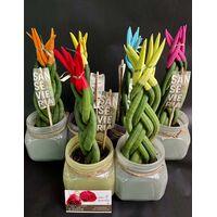 """Φυτό Sansevieria Cylindrica Velvet Touch με Βελούδινα χρωματισμένα άκρα. Σε ποτ !!! . Ύψος περ. 30cm. """"πλεξούδα"""" (1) φυτό τυχαία χρώματα."""