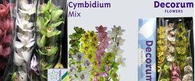 Exclusive  Cymbidium