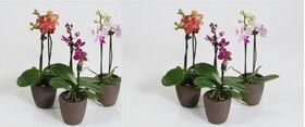 """Ορχιδέα Φαλαίνοψις Μίνι """"Νάνα"""" (1) Φυτό  σε ποτ (1) Κλώνος Λουλουδιών."""