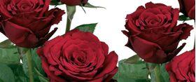 Κόκκινα τριαντάφυλλα A Ποιότητα Ολλανδικά. Σουπερ Προσφορά Εβδομάδας