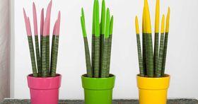 Φυτό Sansevieria Cylindrica Velvet Touch με χρωματισμένα άκρα. Σε ποτ ή καλάθι !!! . Ύψος περ. 30cm.