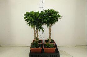"""Φυτό Γαρδένια """"Σχήμα Μπάλας"""" Ύψος περ. 0,80μ."""