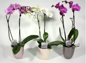 Φυτό Ορχιδέα Φαλαίνοψις (2) κλώνοι λουλουδιών