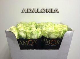 (20) λευκά τριαντάφυλλα Α' 90εκ.!!! Ολλανδικά με πρασινάδες