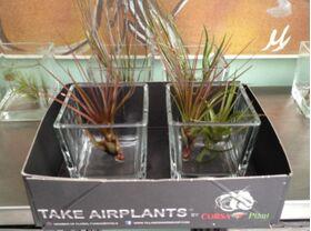 Air Plants tillandsias in glass vase.Blue sky !!!