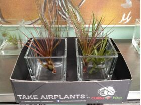 Air plants tillandsias in glass vases.Blue Sky !!!