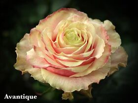 """Τριαντάφυλλα (10) τεμ. """"Avalanche Antique"""""""