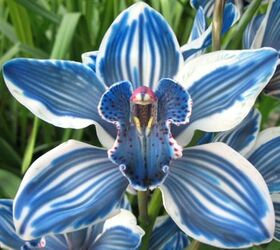 Exclusive X-Large Cymbidium Οrchids  (2) stems height appr. 0,60m. in vase arrangement.Blue!!! New!!!