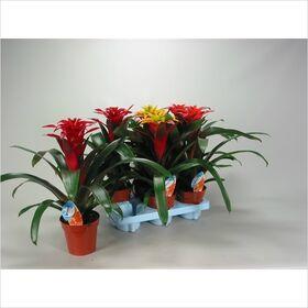 Γκουζμάνια - Φυτό εσωτερικού χώρου