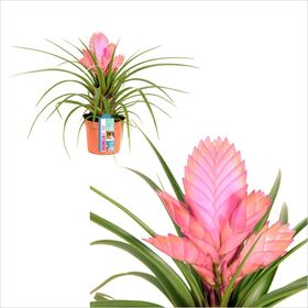 Plant tillandsias in glass vase.Blue sea!!!!