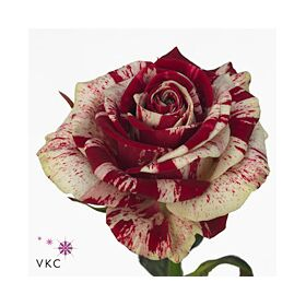"""Harlequin"" roses Bouquet (21) stems. New !!!"