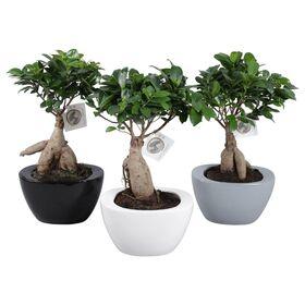 """Φυτό μπονσάι  """"Ginseng Ficus microcarpa""""  Potsize 19cm Height 40cm !! Exclusive !!!!"""" .Νέο, Ιδιαίτερο !!!"""