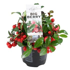 """""""Ilex"""" or """"Gaultheria Big Berries"""" plant in ceramic, glass or zink pot."""