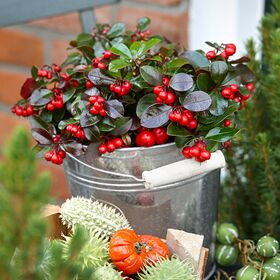 "Ilex ή Gaultheria φυτό με ""Berries"" σε μεταλικό, κεραμικό ή γυάλινο ποτ."