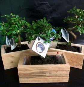 Bonsai plant. Πολυτελές +30€ σε ξύλινη θήκη με δείκτη ποτίσματος !