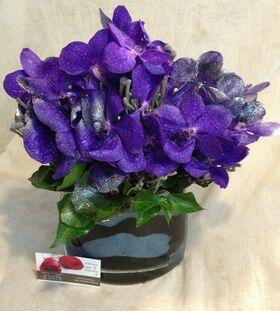 Exclusive vanda orchids in design glass vase.Exclusive.