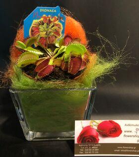 Φυτό Διωναία (σαρκοφάγο φυτό)  σε γυάλινο βάζο με διακόσμηση !!! Φυτό Διωναία (σαρκοφάγο φυτό)  σε γυάλινο βάζο με διακόσμηση !!!
