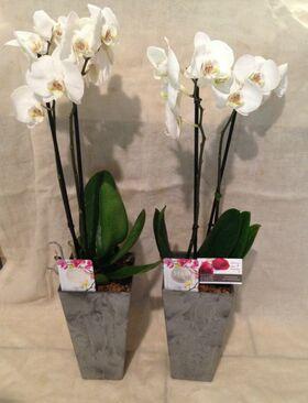 Ορχιδέες Φαλαίνοψις (2) Φυτά  σε δίδυμα ποιοτικά  ποτ. Έξτρα ποιότητα.