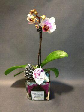 """Ορχιδέα Φαλαίνοψις Kolibri  Φυτό  σε γυάλινο βάζο με διακόσμηση. Ορχιδέα """"Νάνος"""""""