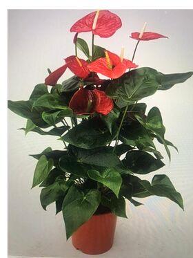 Φυτό Ανθούριο  Ύψος περ. +1.00μ. Σε γλάστρα ή καλάθι.