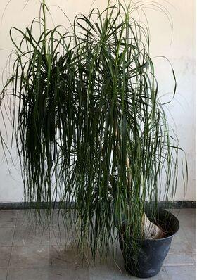 Φυτό Beaucarnea Nolina  ύψους περ.2.20m. σε ποιοτική γλάστρα. Ηλικία (30+) έτη.
