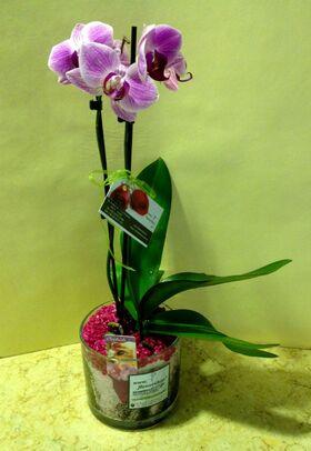 Ορχιδέα Phalaenopsis midi. Special.