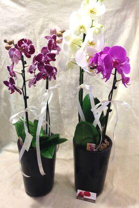 Ορχιδέες Φαλαίνοψις (4) Φυτά  σε δίδυμα ποιοτικά κεραμεικά ποτ. Έξτρα ποιότητα.