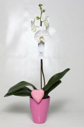 """Ορχιδέα φαλαίνοψις φυτό """"(1) στέλεχος λουλουδιών"""" + Ποτ."""