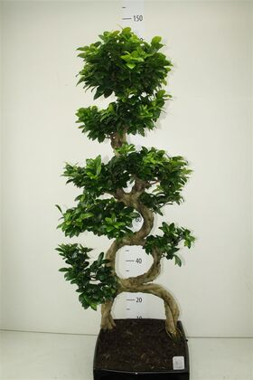 Φυτό μπονσάι (max) ύψος περ. 1.40μ.Κεραμεικό ποτ. Σχήμα 8!!!!