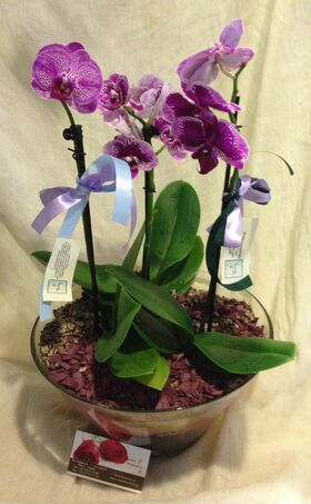 Orchid Phalaenopsis mini (Hybrid) Exclusive in pot !!!