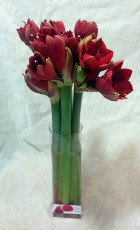 Amaryllis in glass cylinder with colored gel.