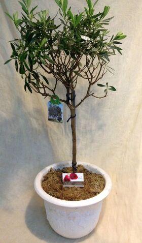 Olea Europaea Plant Exclusive