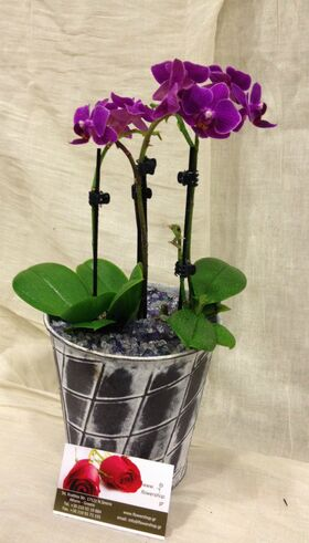 Orchid Phalaenopsis mini (Hybrid) in pot !!! Special.