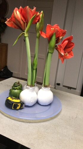 """Amaryllis """"Waxed Bulb"""" . Does not need watering ! Grows by itself !"""