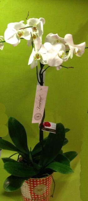 Ορχιδέα Φαλαίνοψις (2) Φυτά σε μοντέρνο καρώ ποτ.